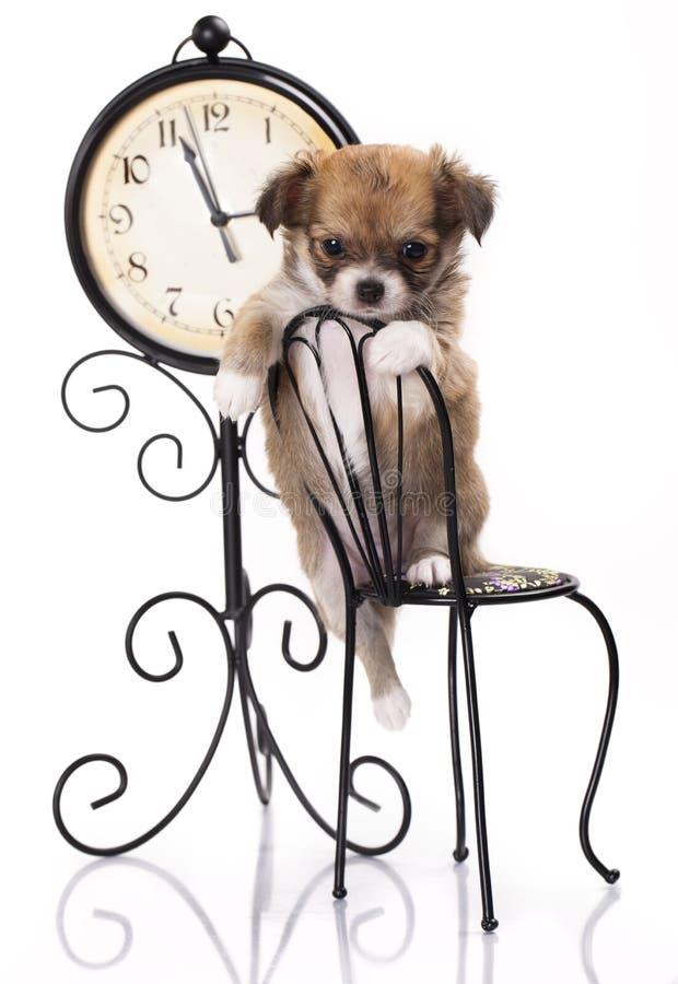 Chihuahua siedzi na małym krześle obrazy royalty free