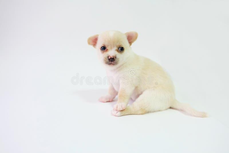 Chihuahua sind ein raffinierter Zucker, ein Monat alt, auf einem weißen Hintergrund stockfotos