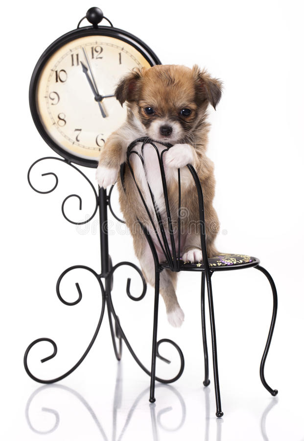 Chihuahua sits on a small chair. Chihuahua puppy sits on a small chair in the background of the Old Clock royalty free stock images