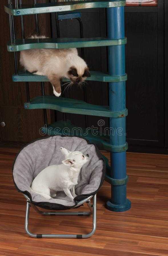 Chihuahua is sitting on pet chair and cat is sitting above dog on wooden stairs royalty free stock photography