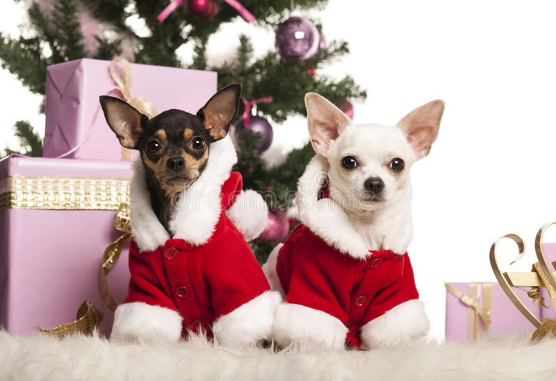 Chihuahua sitting and wearing a Christmas suit in front of Christmas decorations royalty free stock photo