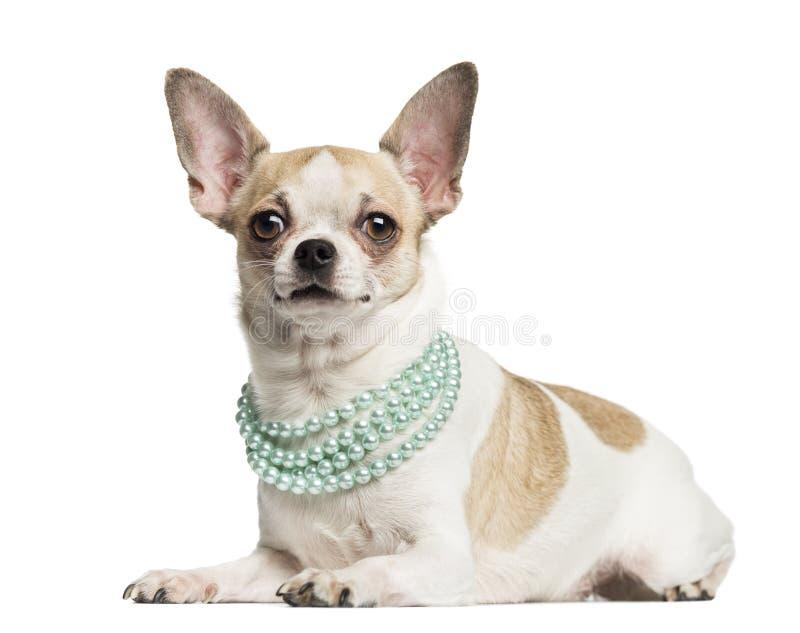 Chihuahua som ligger och bär en pärlemorfärg halsband royaltyfri foto