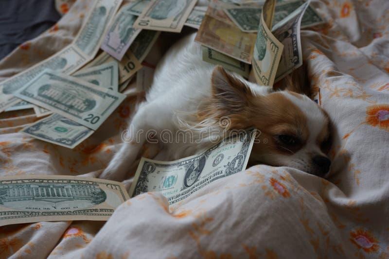 Chihuahua stehen im Bett mit Geld still lizenzfreie stockbilder