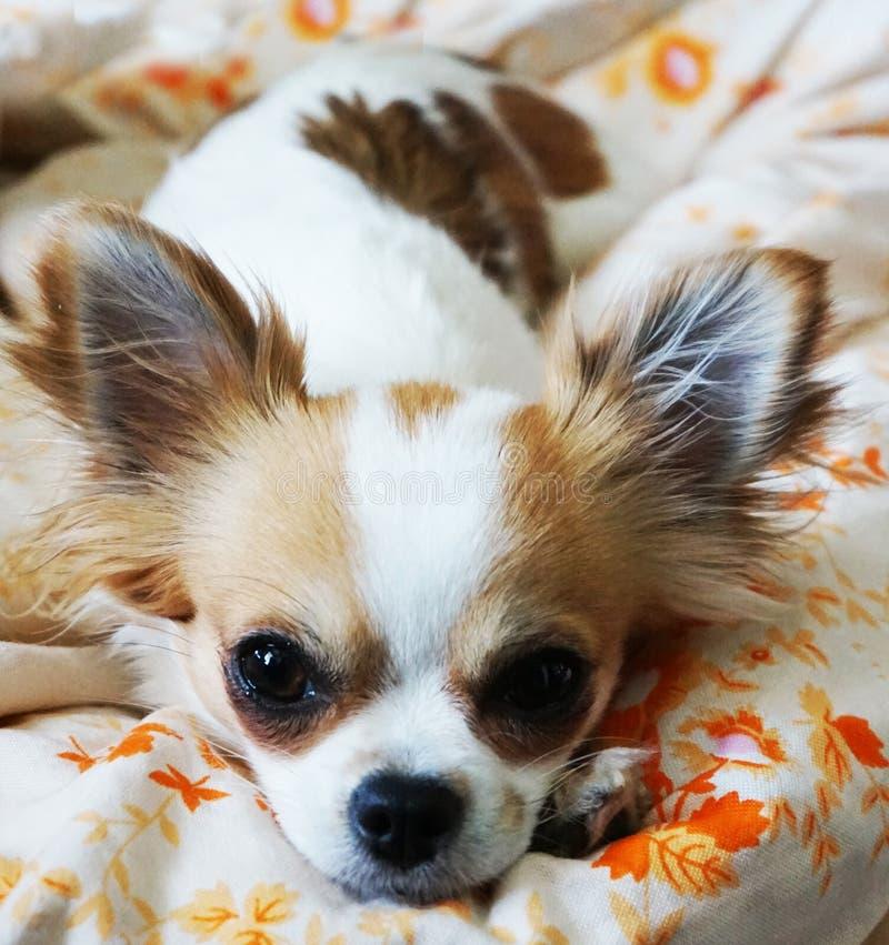 Chihuahua stehen im Bett still lizenzfreies stockfoto