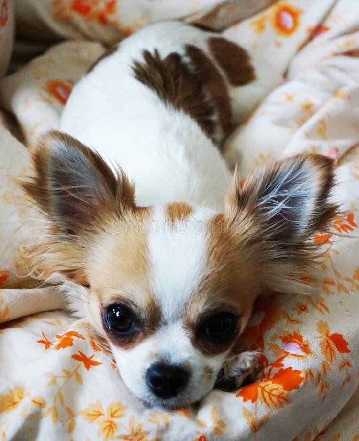 Chihuahua stehen im Bett still lizenzfreie stockbilder