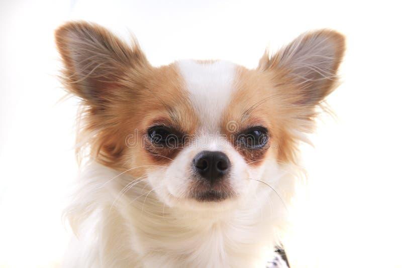 Chihuahua stehen still stockfoto
