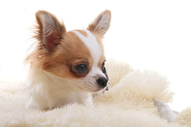 Chihuahua stehen still stockfotografie