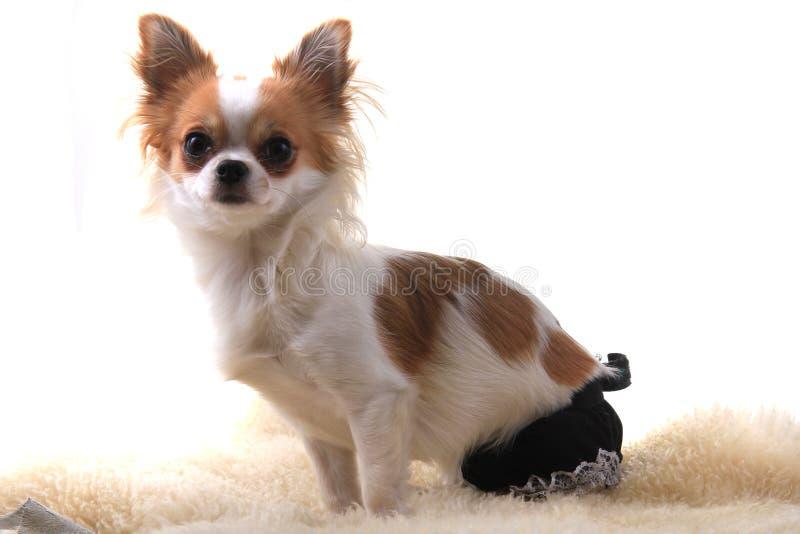 Chihuahua stehen still lizenzfreies stockbild