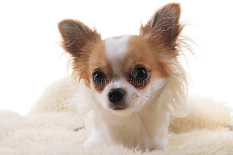 Chihuahua stehen still stockbild