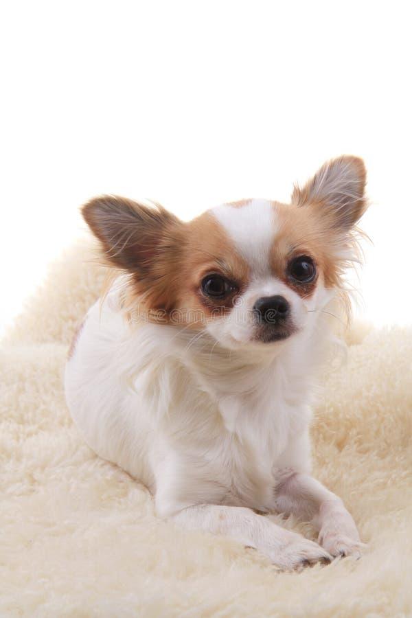 Chihuahua stehen still lizenzfreie stockbilder