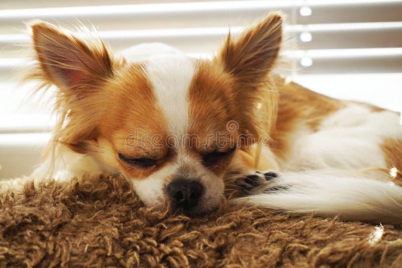 Chihuahua stehen still stockfotos