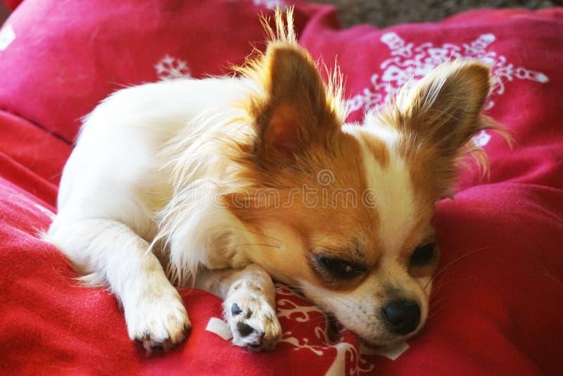 Chihuahua stehen still lizenzfreie stockfotografie