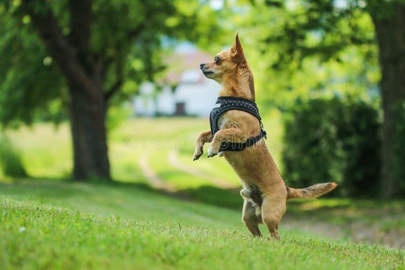 Chihuahua stoi na jego tylnych nogach zdjęcie stock