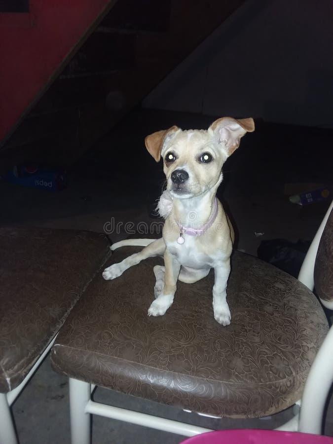 Chihuahua stokrotka obraz stock