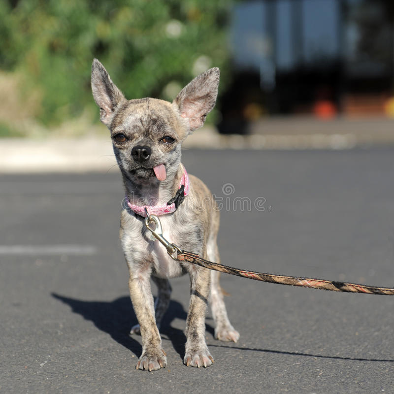 Chihuahua In The Street Royalty Free Stock Image