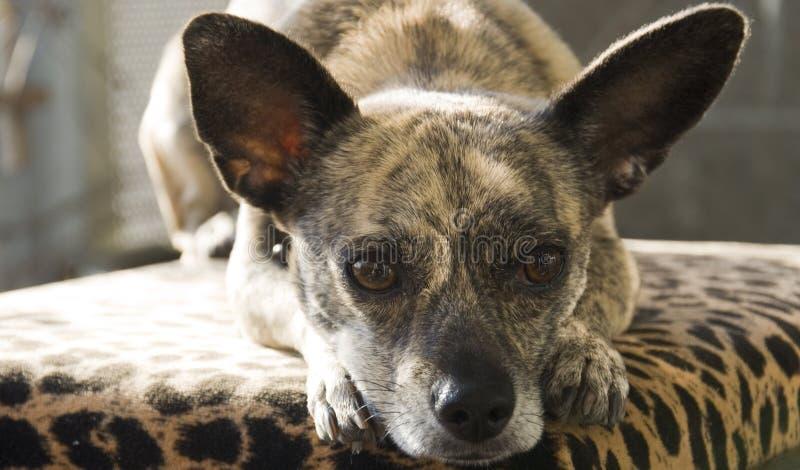 Chihuahua striata con le grandi orecchie immagine stock