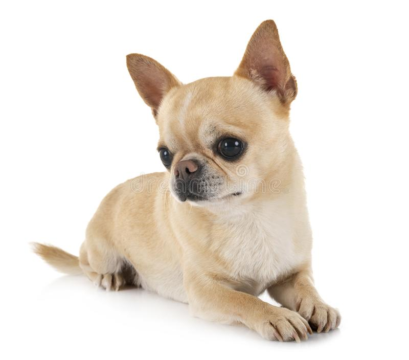 Chihuahua in studio royalty free stock photos