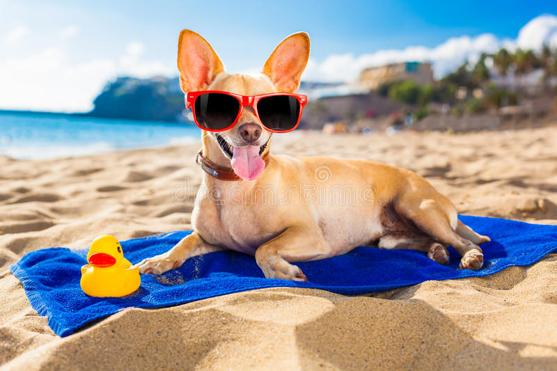 Chihuahua summer dog stock images