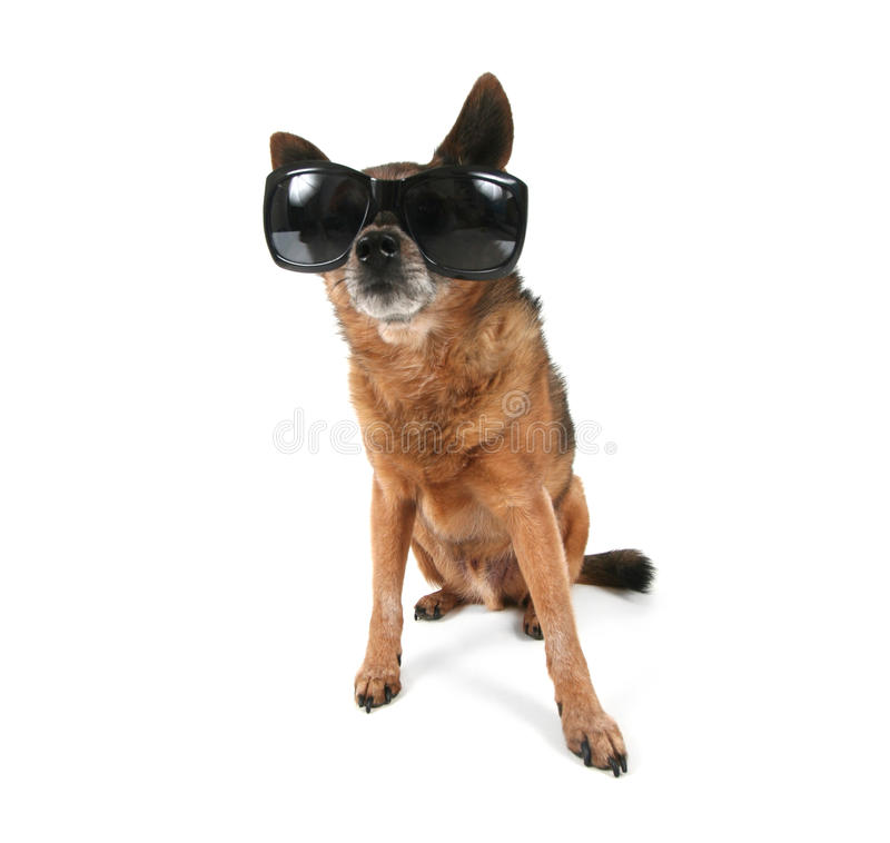 Download A Chihuahua With Sunglasses On Stock Image - Image: 27931379