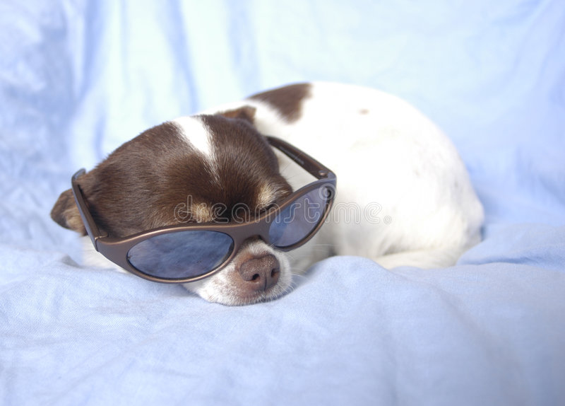 Chihuahua In Sunglasses Stock Photography