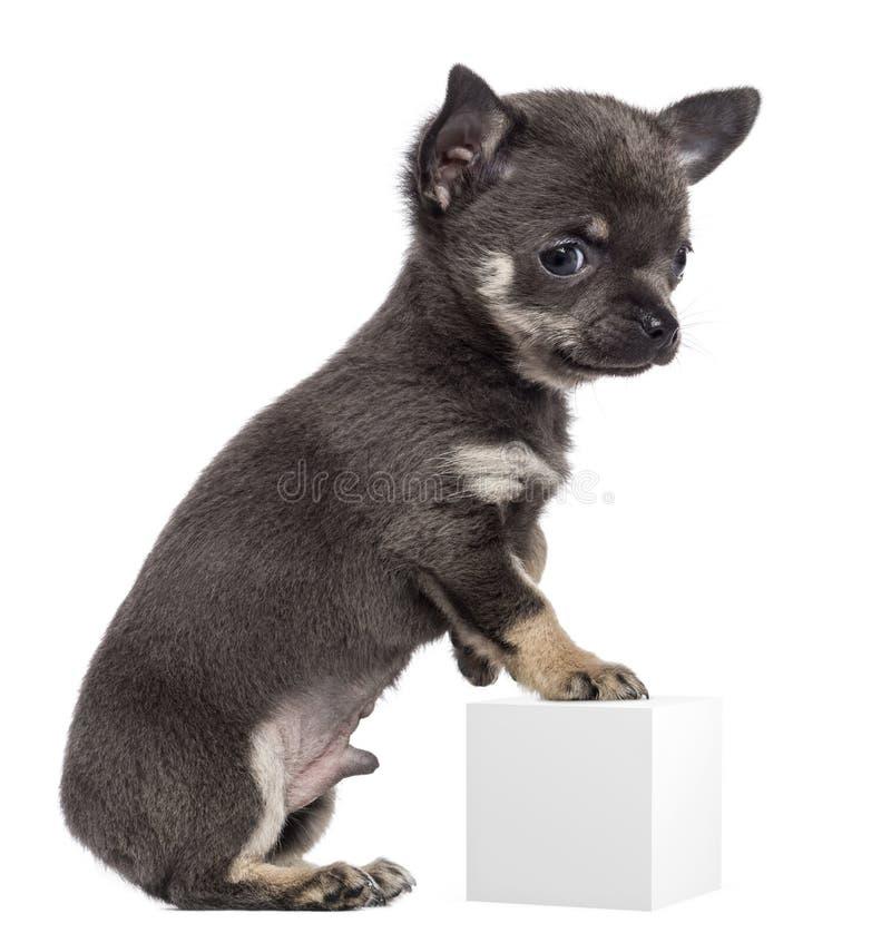Chihuahua szczeniak, 7 tygodni starych, pozycja obraz stock