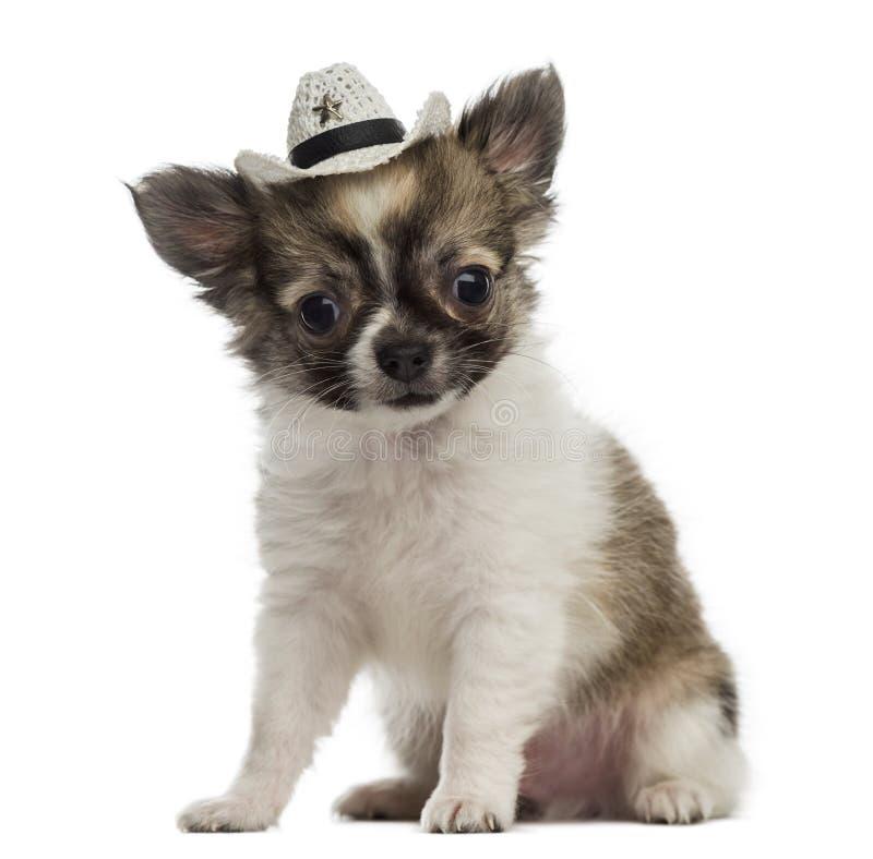Chihuahua szczeniak jest ubranym kowbojskiego kapelusz (2 miesiąca starego) obrazy royalty free
