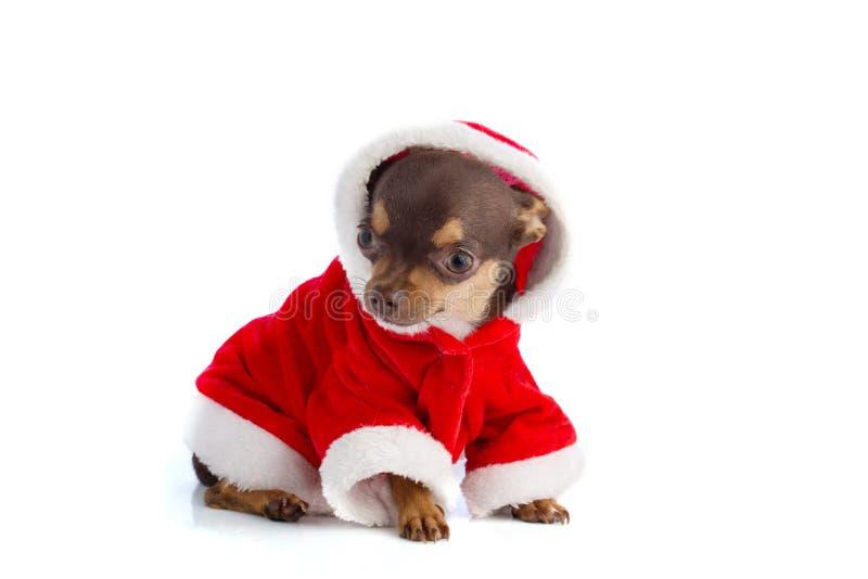 Chihuahua szczeniak ubierający jako Santa zdjęcia stock