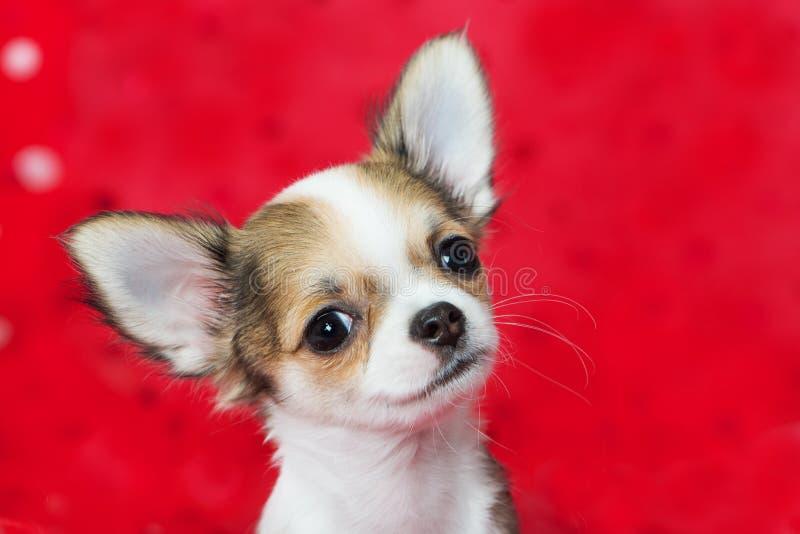 Chihuahua szczeniaka obsiadanie na czerwonej koc obraz royalty free