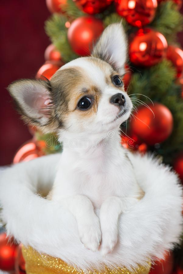 Chihuahua szczeniaka obsiadanie w Santa Claus bucie obraz royalty free