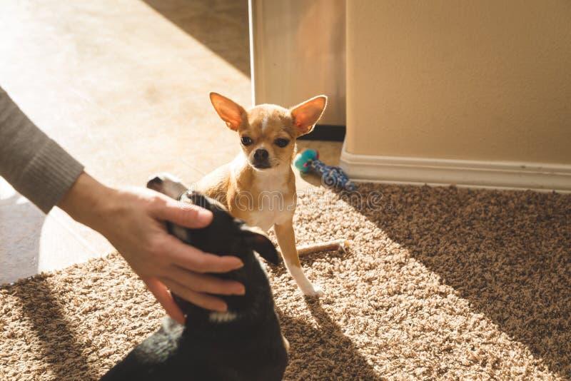 Chihuahua szczeniaka zegarki inny chihuahua dostają uwagę zdjęcie stock