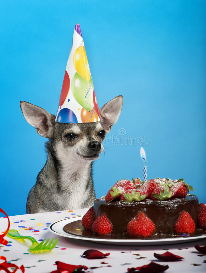 Chihuahua at table wearing birthday hat. And looking at birthday cake in front of blue background royalty free stock image