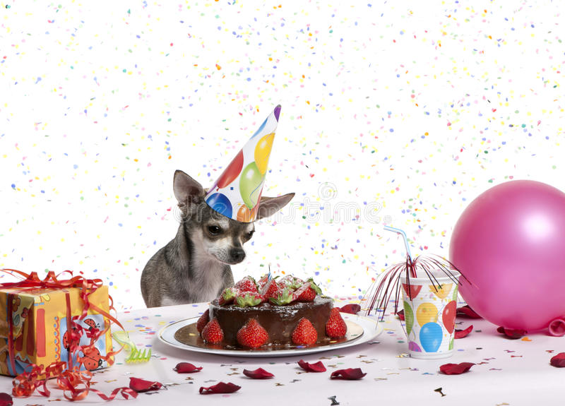 Chihuahua at table wearing birthday hat. And looking at birthday cake in front of white background stock images