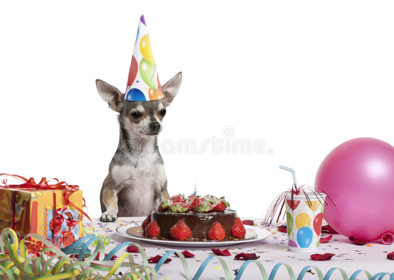 Chihuahua at table wearing birthday hat. And looking at birthday cake in front of white background royalty free stock image