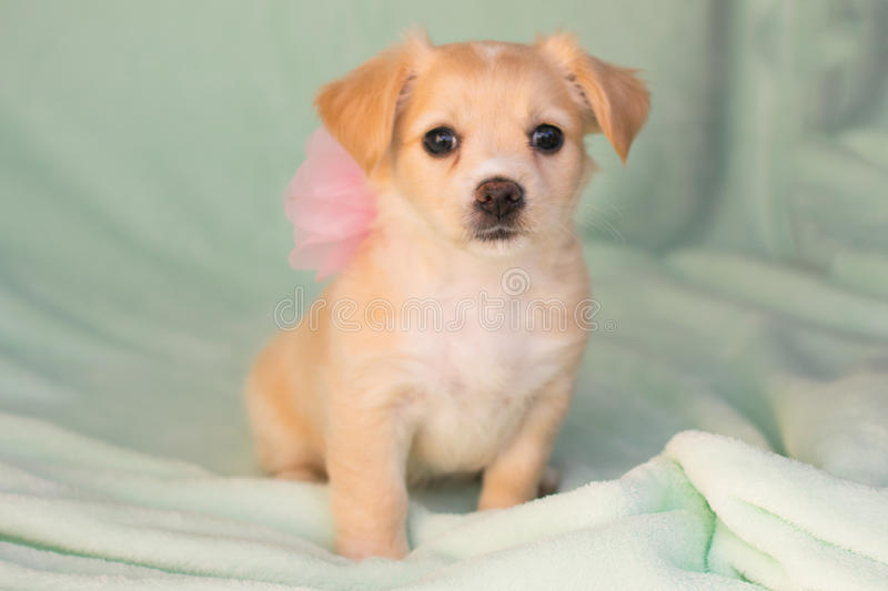 Chihuahua terrier mix puppy stock image