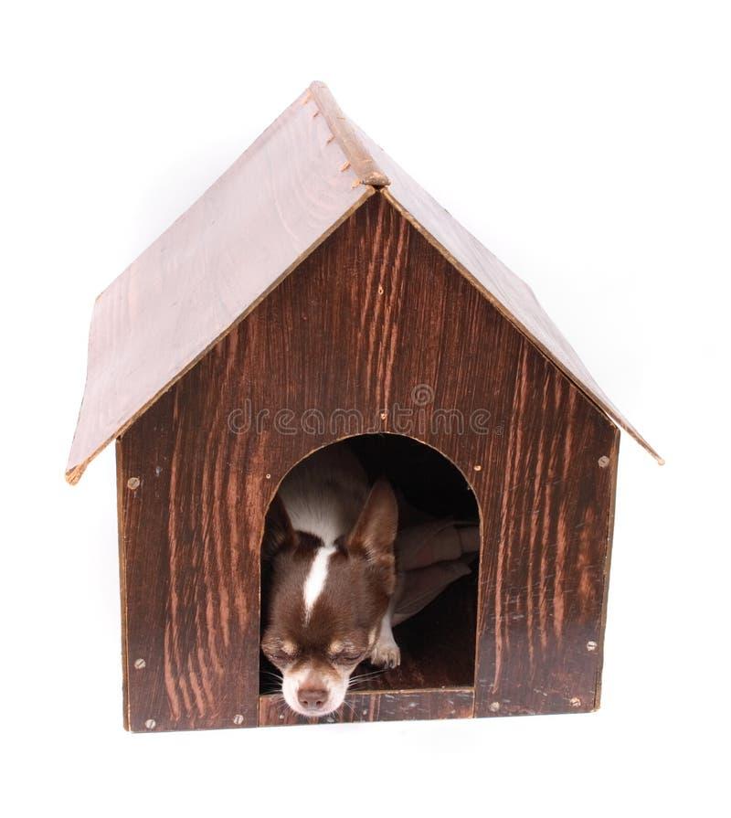 Chihuahua thuis stock foto
