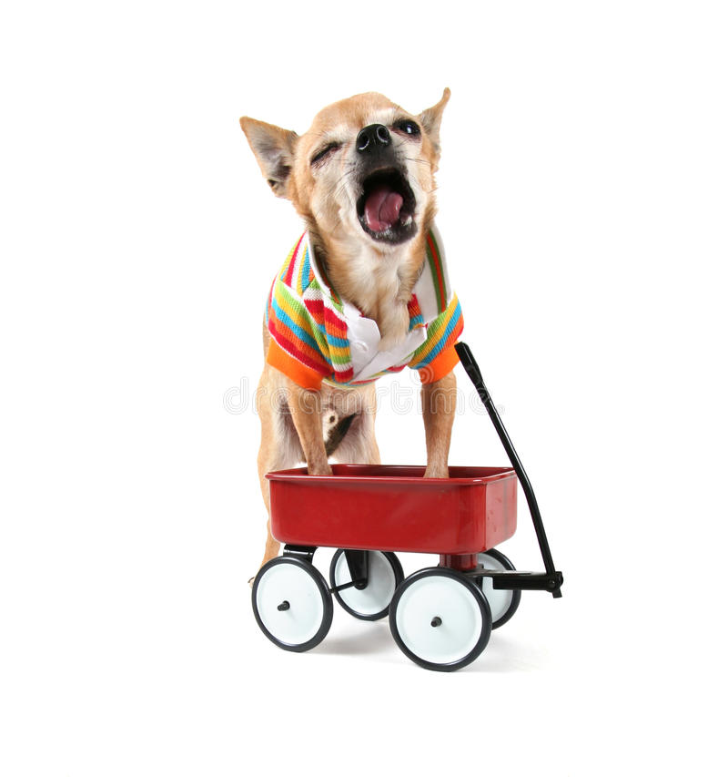 Download A Chihuahua With A Tiny Wagon Stock Photo - Image: 27931468