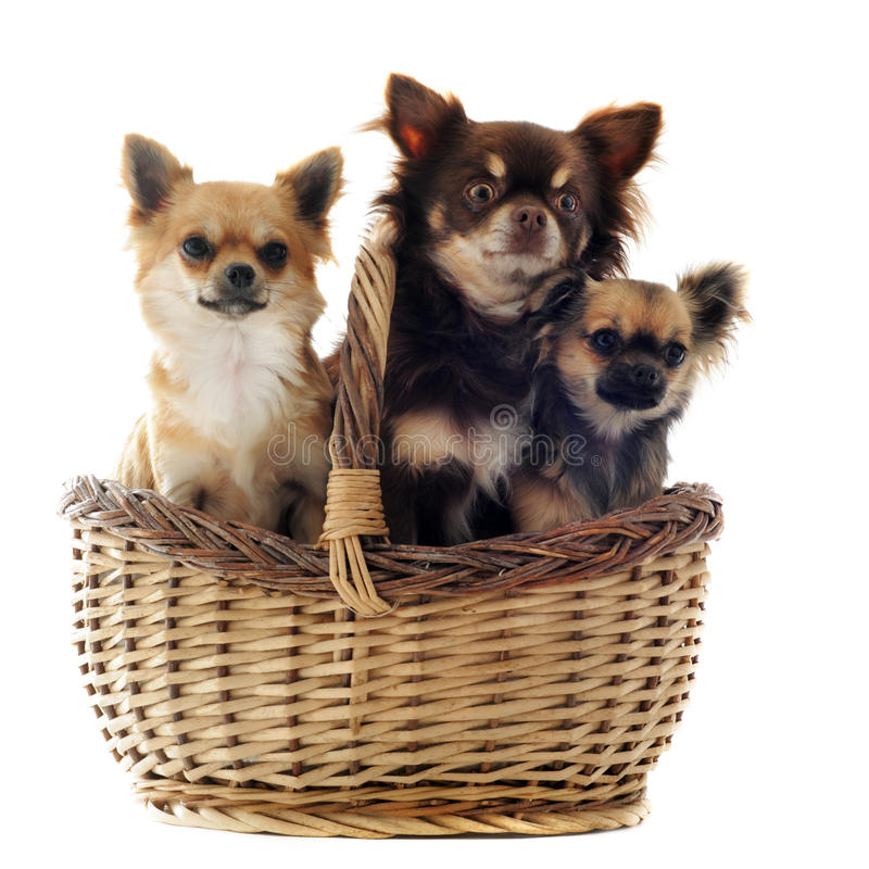 Chihuahua tres en una cesta foto de archivo libre de regalías