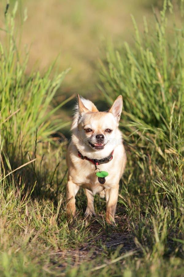 Chihuahua trotting through grass royalty free stock photo