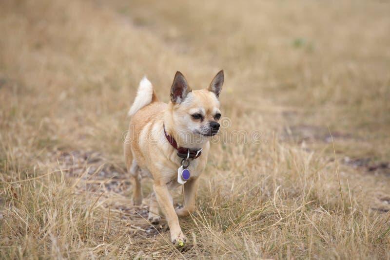 Chihuahua trotting through yellow grass