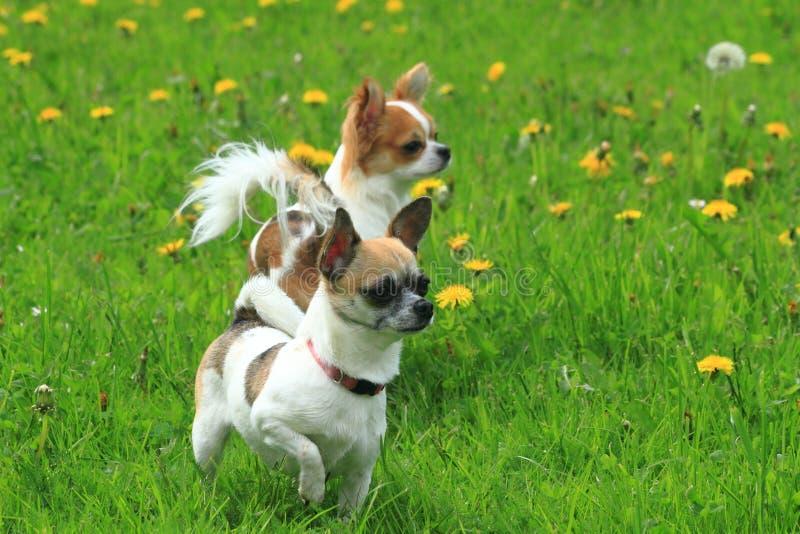 chihuahua två i det gröna gräset royaltyfri foto