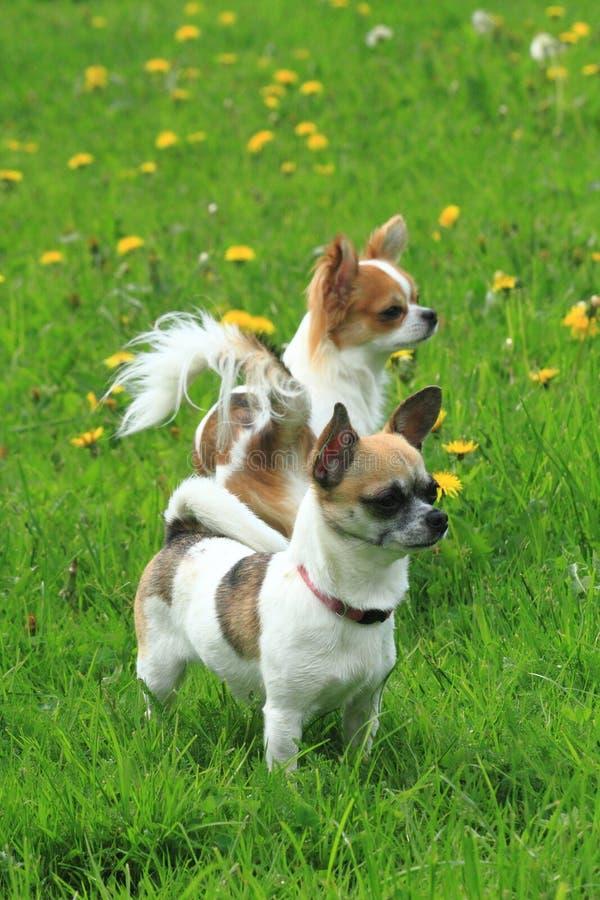 chihuahua två i det gröna gräset arkivfoton
