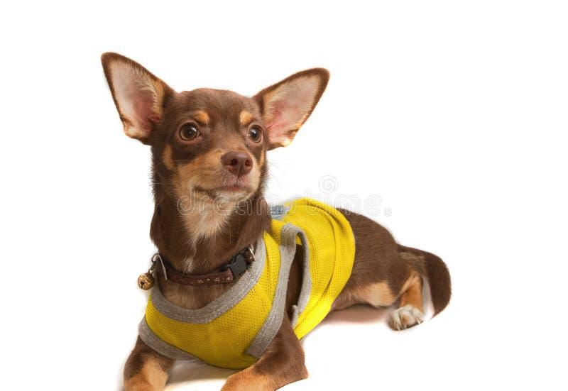 Chihuahua ubierający w górę pszczoły jako obrazy stock