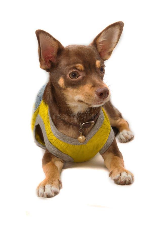 Chihuahua ubierający w górę pszczoły jako fotografia royalty free