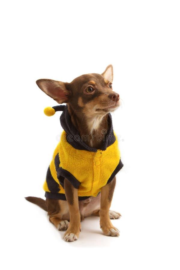 Chihuahua ubierający w górę pszczoły jako zdjęcie stock