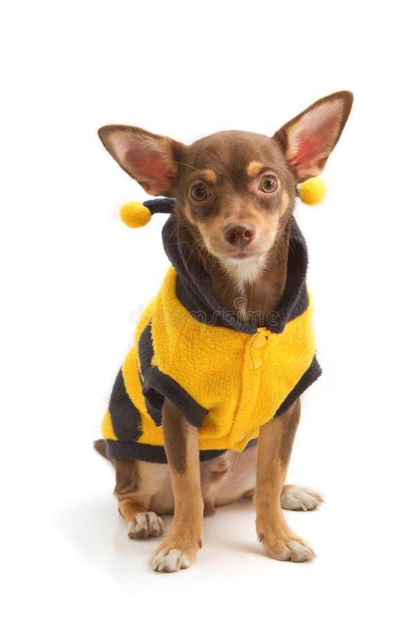 Chihuahua ubierający w górę pszczoły jako fotografia stock