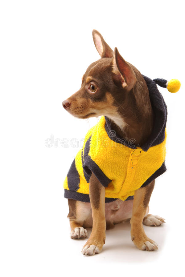Chihuahua ubierający w górę pszczoły jako zdjęcia stock