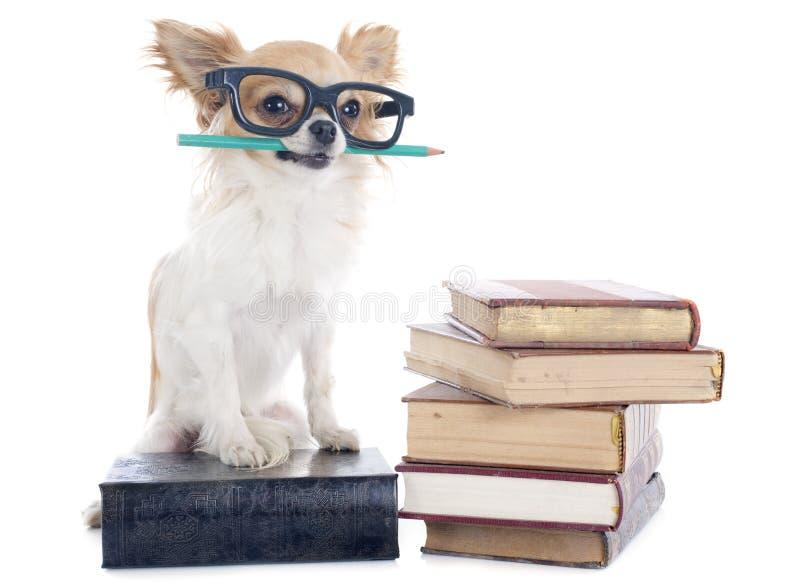 Chihuahua und Bücher stockbild