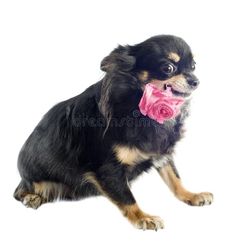 Download Chihuahua und Blume stockbild. Bild von weiß, wenig, schön - 26366937