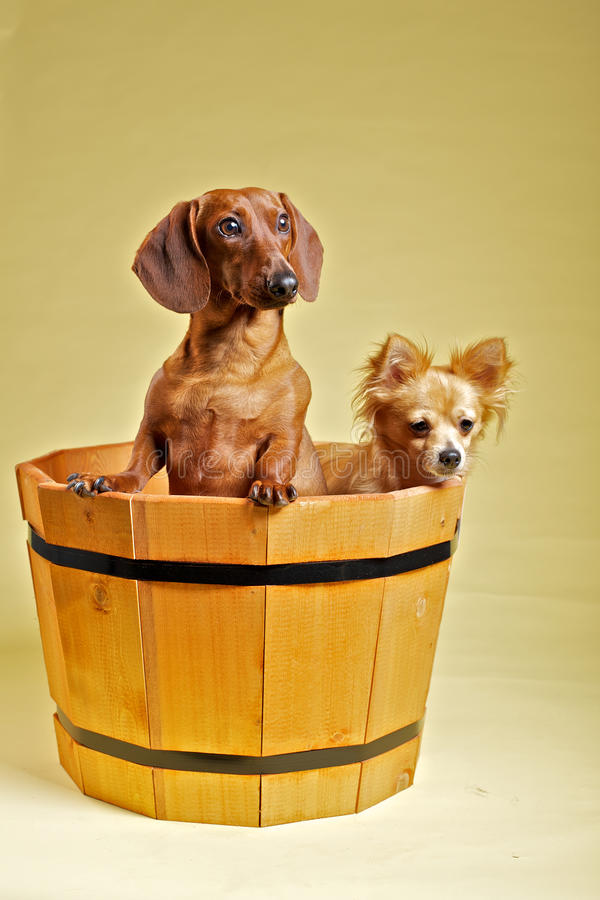 Chihuahua und Dachshund stockbild