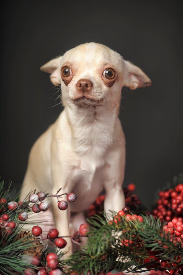 Chihuahua- und Weihnachtsdekorationen stockfoto